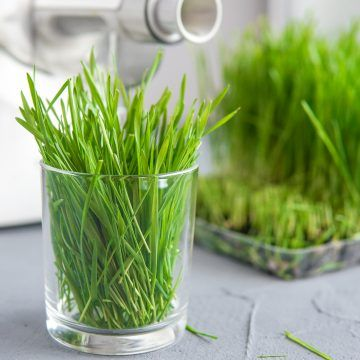 Extraction of wheatgrass from juicer